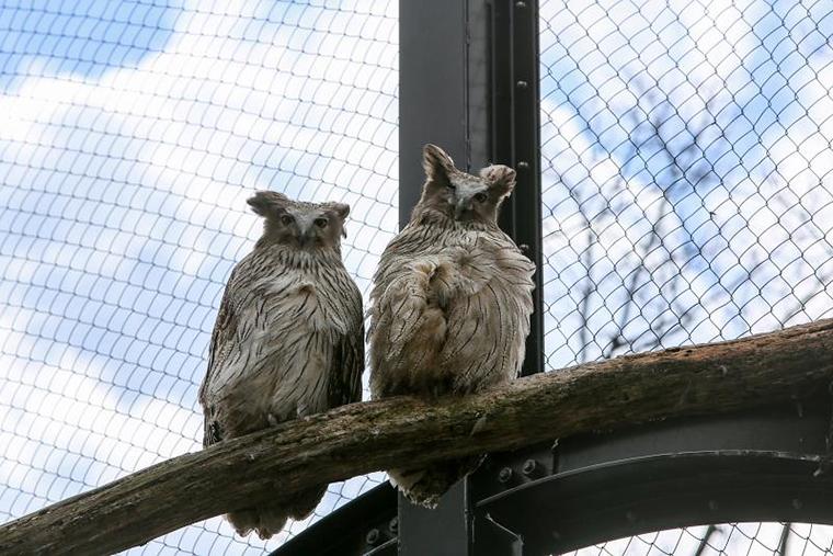 北海道 旭山動物園 穴場見学スポット シマフクロウ舎