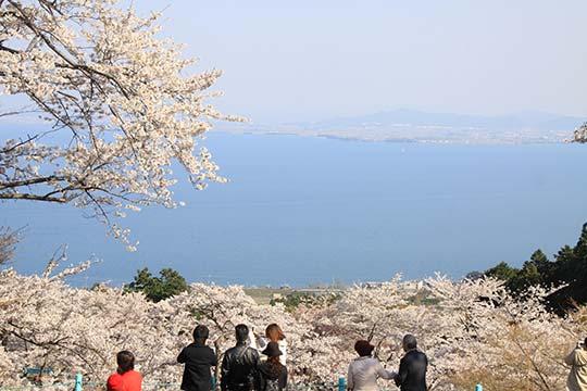 びわ湖バレイ 桜