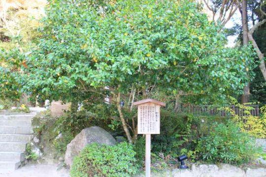 招霊(おがたま)の木