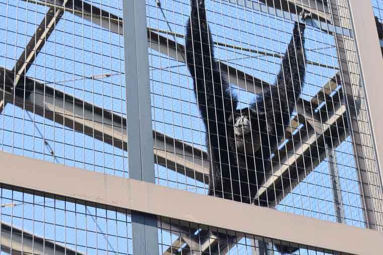 名古屋 東山動植物園 フクロテナガザル ケイジ