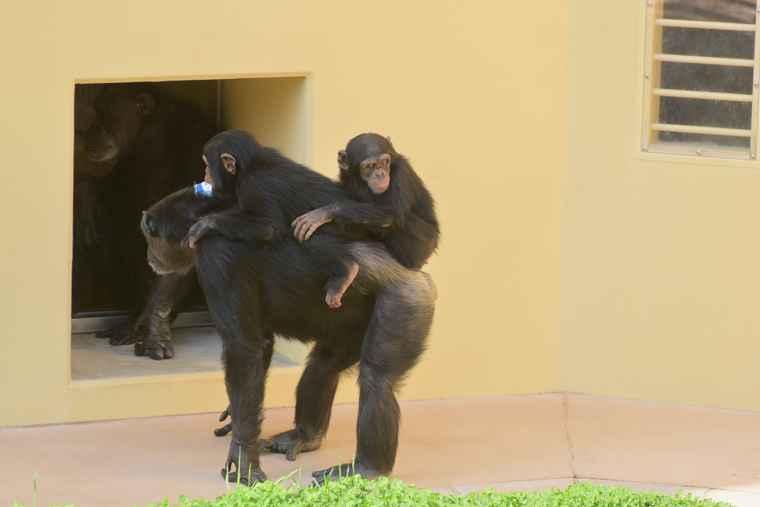 名古屋 東山動植物園 チンパンジー