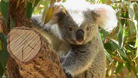 かわいいコアラとイケメンゴリラに癒されたい!名古屋・東山動植物園をご紹介