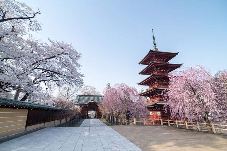 青森県 弘前市 最勝院の五重塔 桜