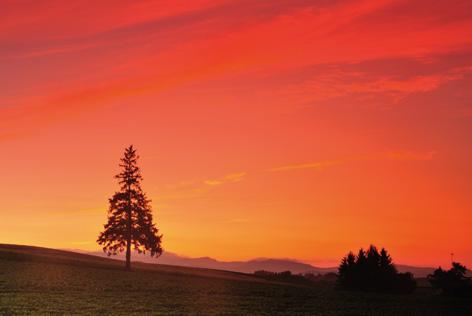 クリスマスツリーの木と夕焼け