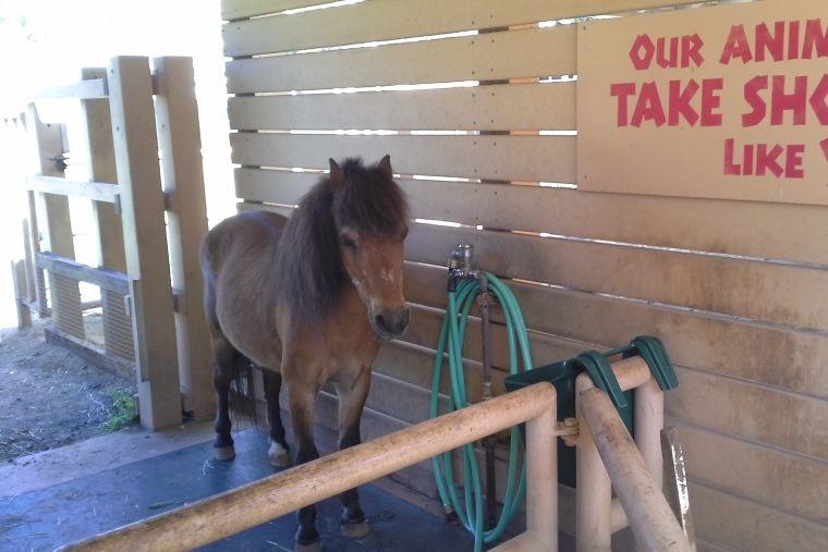 シャワーコーナーにたたずむホノルル動物園のポニー