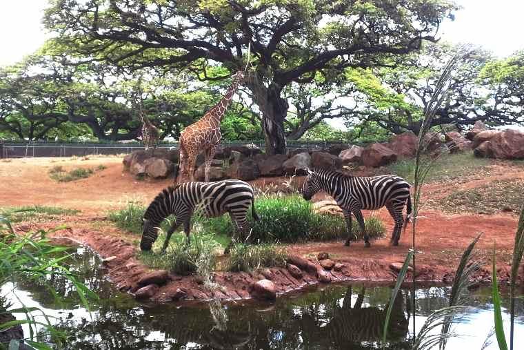 ホノルル動物園のアフリカサバンナコーナー