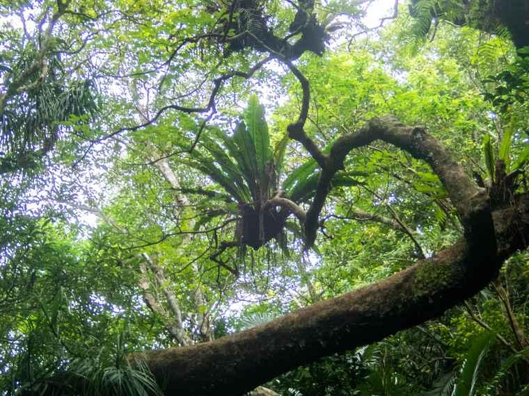 西表島 トレッキング体験 別の木に根付くリュウビンタイ