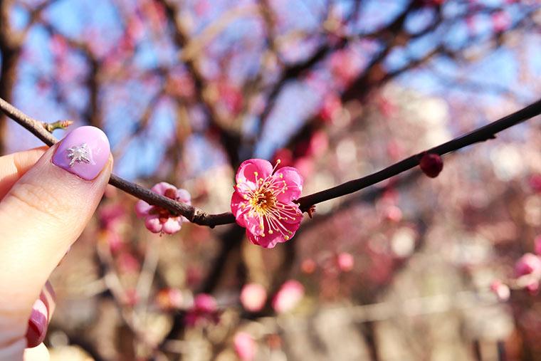 亀戸天神社境内に咲く梅