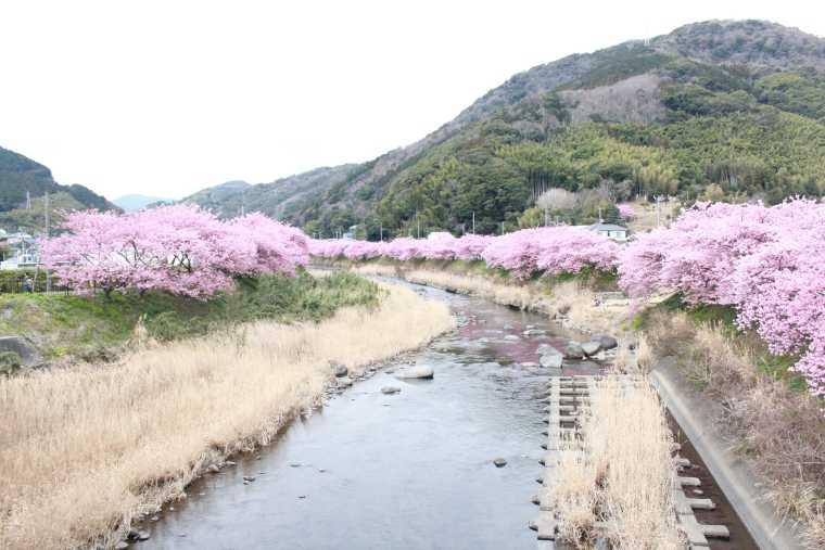 早咲きの桜として知られる河津桜