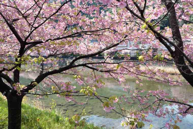 河津川沿いに咲く河津桜
