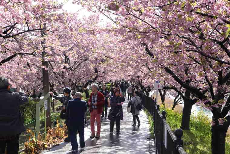大勢の観光客が訪れる河津桜まつり