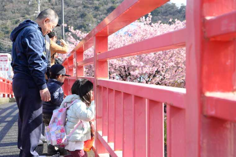 河津川上流方面の桜や河口付近の桜が見わたせる館橋