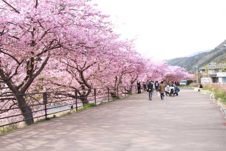 峰温泉から踊り子温泉会館の桜並木