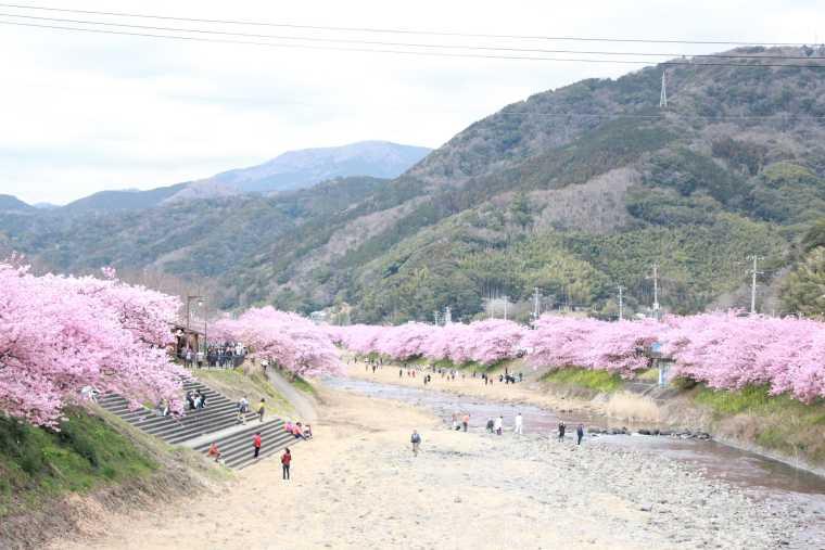 河津川の河原から見る土手の桜もおすすめ