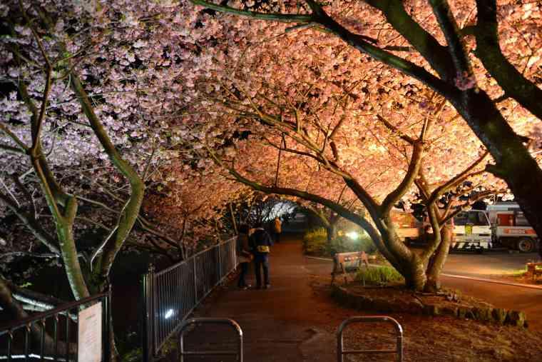 踊り子温泉会館付近の桜のトンネル