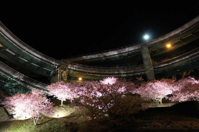 河津七滝ループ橋の桜並木