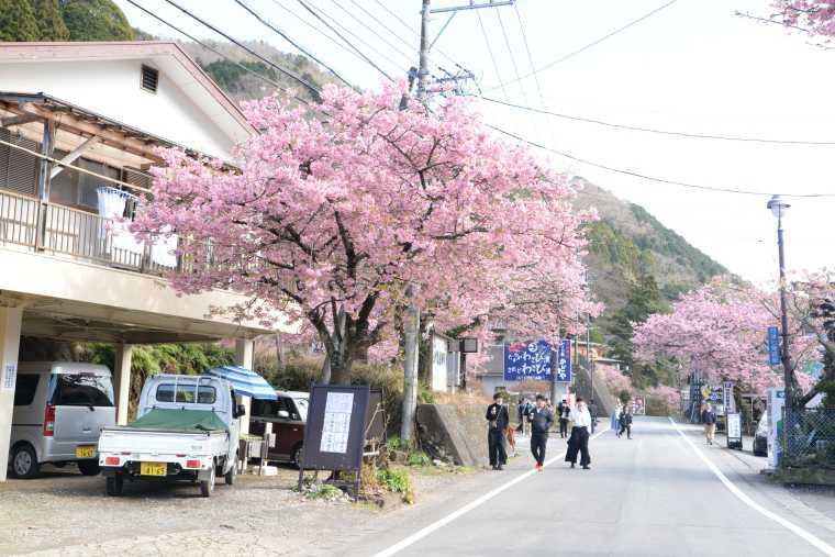 河津七滝周辺も見られる河津桜