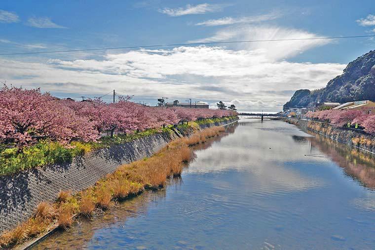 館橋から見た河津桜