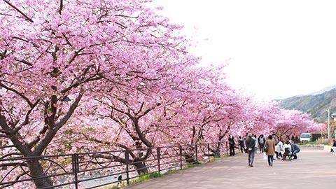 2月からお花見!河津桜まつりで、一足早い春を感じよう