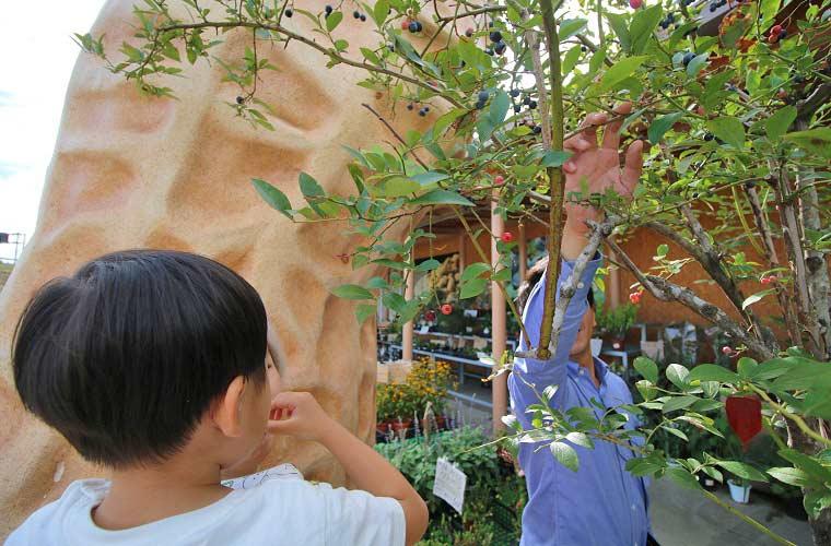 木更津の名産の1つブルーベリーの木