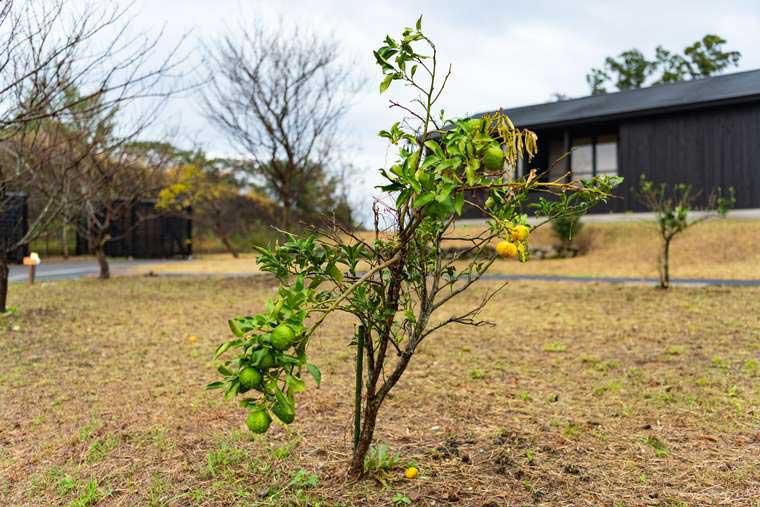 熊野古道 熊野倶楽部  熊野特産「みかん」の樹