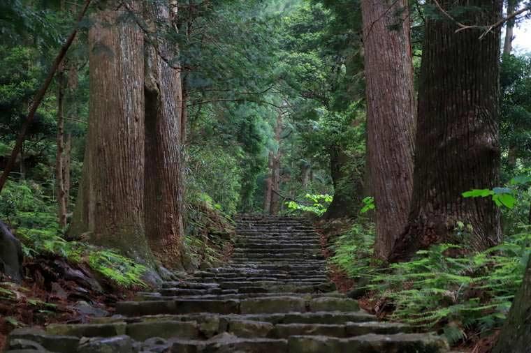 熊野古道の杉林