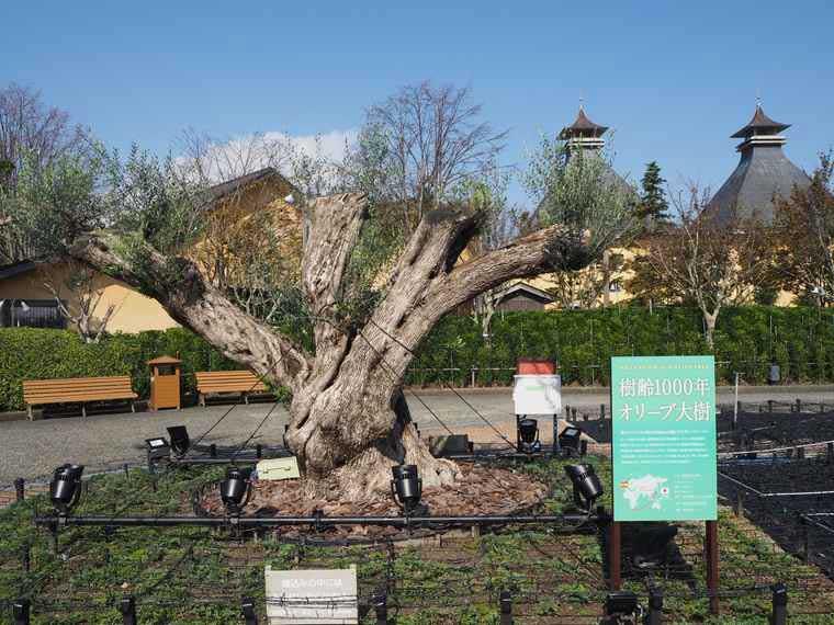 なばなの里 オリーブの樹