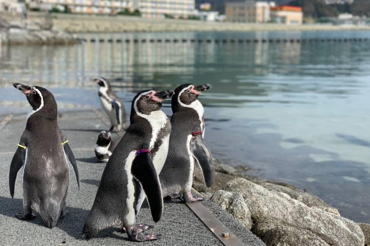海へ向かうフンボルトペンギンたち