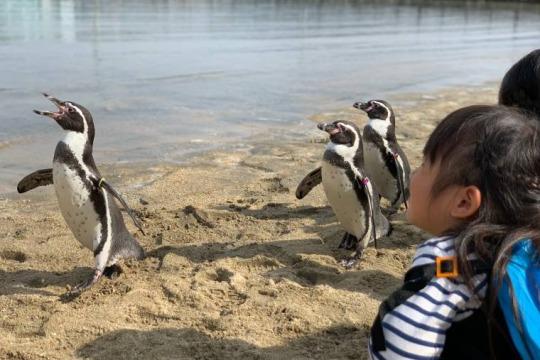 近くでペンギンを観察できる