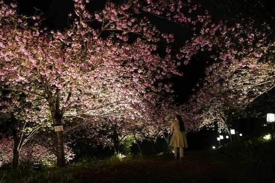 秩父 長瀞 観光 桜