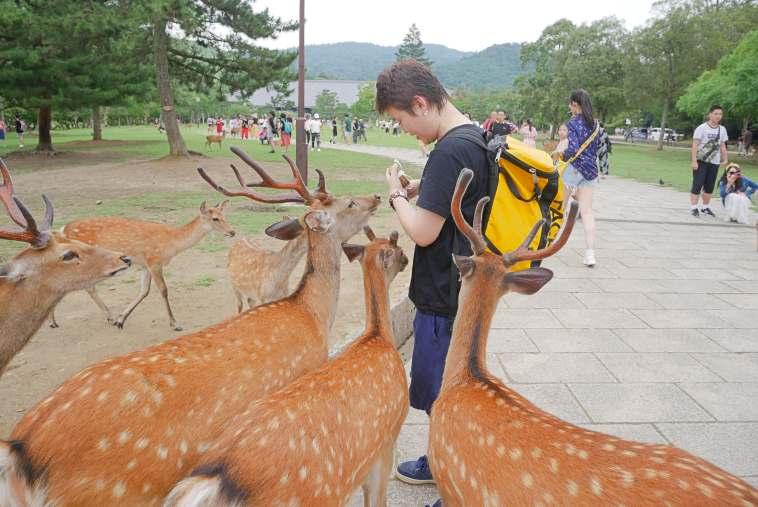 鹿せんべいに夢中な愛らしい鹿たち