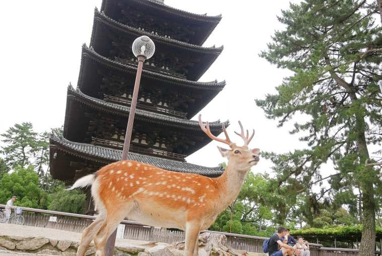 興福寺五重塔と鹿