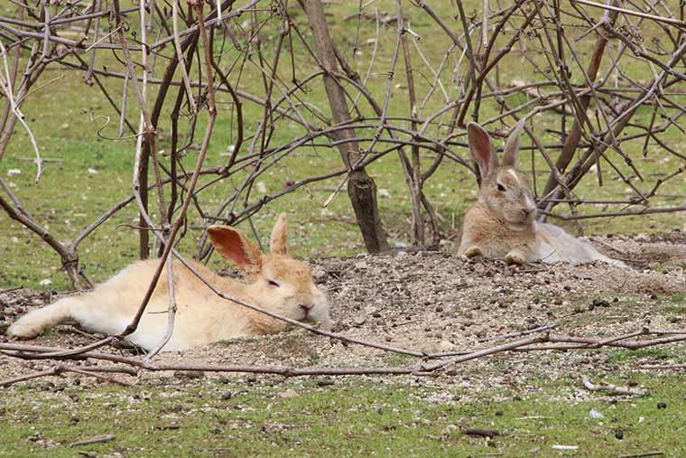 ピーターラビットと同じアナウサギ
