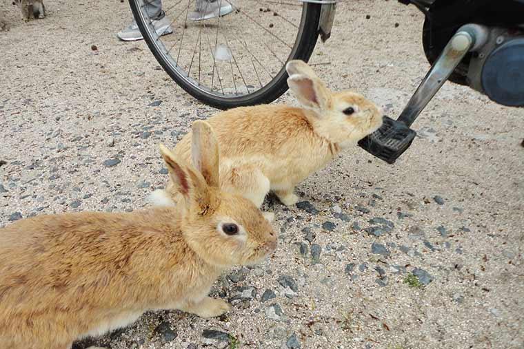 サイクリングしていても寄ってくるうさぎたち