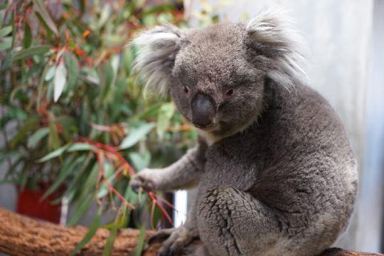 天王寺動物園のコアラ