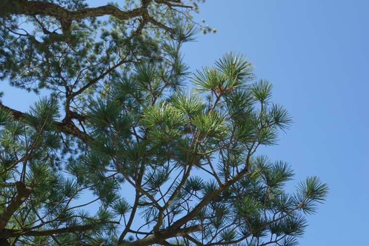 栗林公園の根上り五葉松
