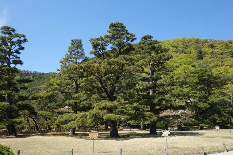 栗林公園のお手植え松
