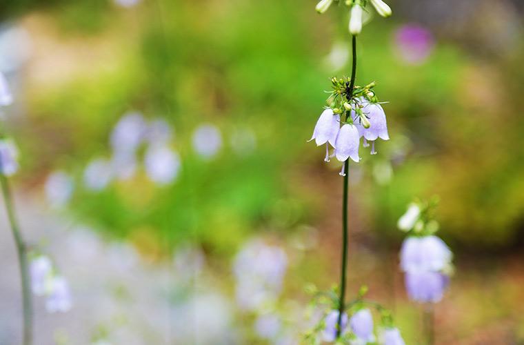 六甲高山植物園には高山植物がたくさん