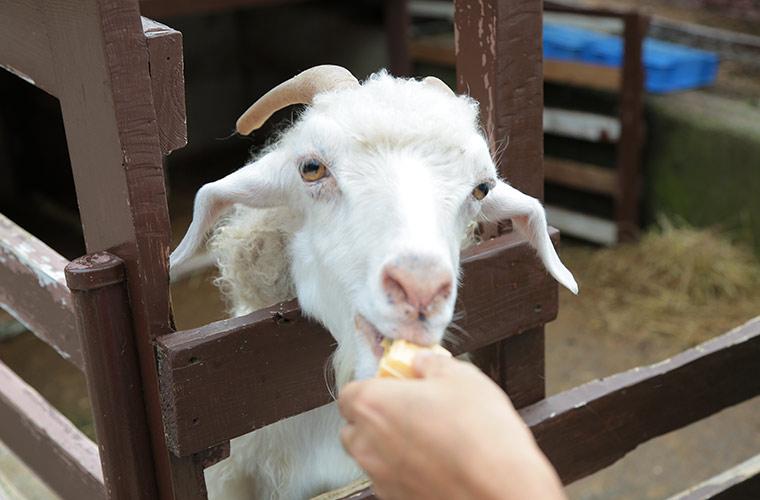 六甲山牧場でヤギの餌やり体験