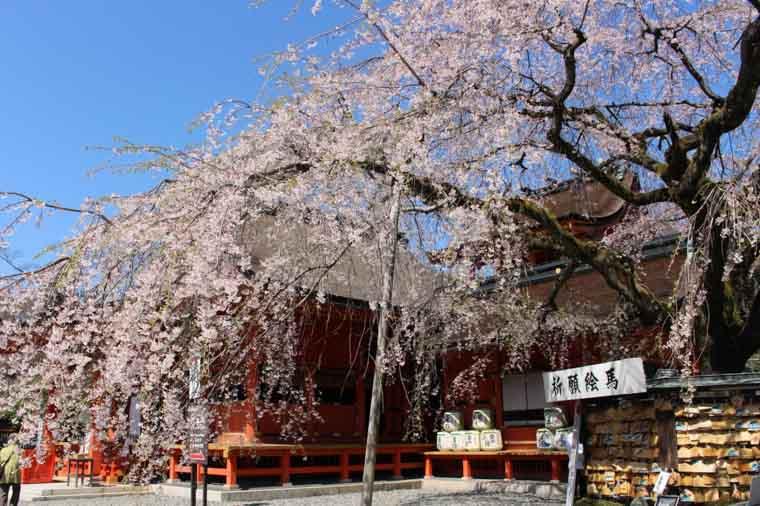 富士山本宮浅間大社の信玄桜