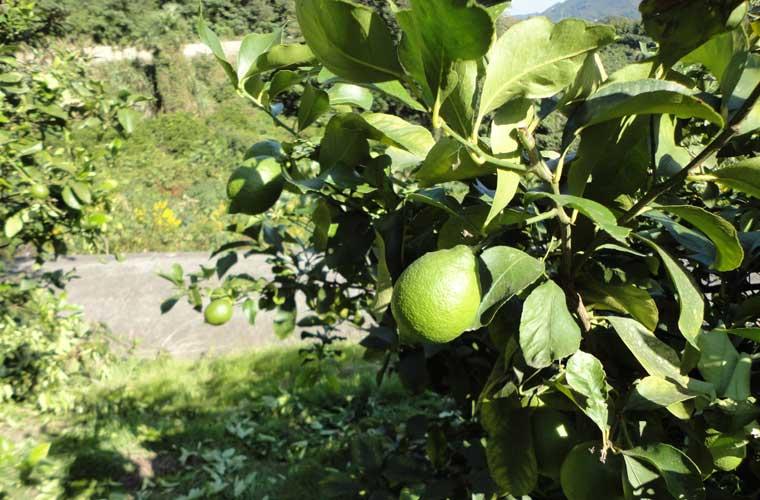 瀬戸田町のレモン畑