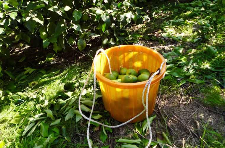 10月頃から収穫が始まるグリーンレモン