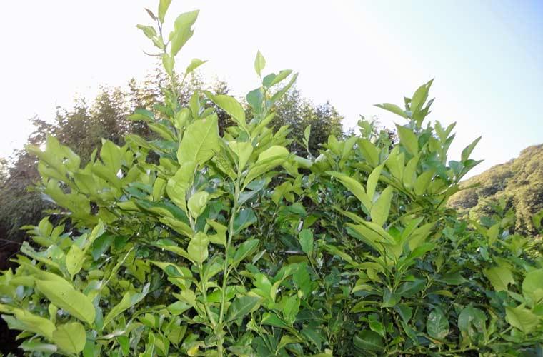 黄緑色の木はまだ若いレモンの木