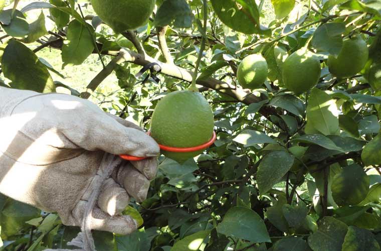 グリーンレモンは直径5.5cmくらいになると収穫期を迎える