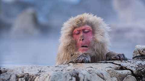 温泉に入るサルに会える「地獄谷野猿公苑」事前知識で10倍楽しもう!