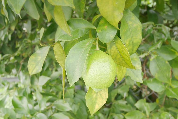レモン谷のレモン