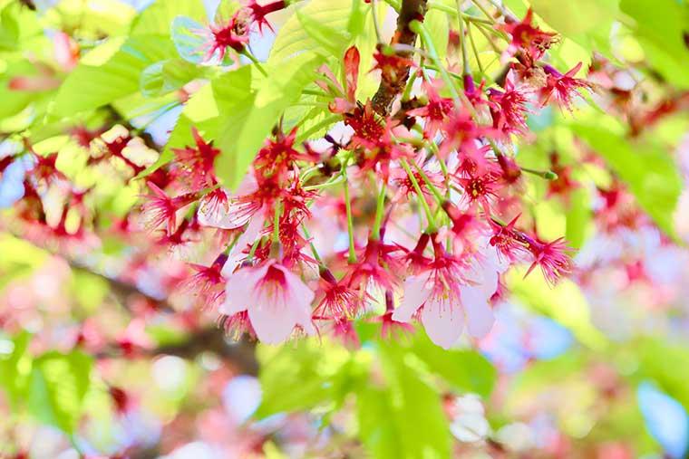修禅寺 寒桜