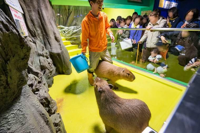 竹島水族館 カピバラショー