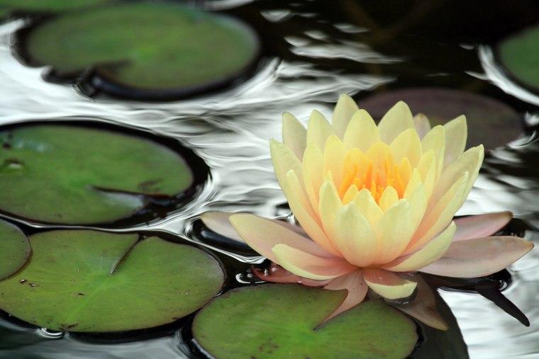 6月〜9月には作品の周りの池に本物の睡蓮が咲きます