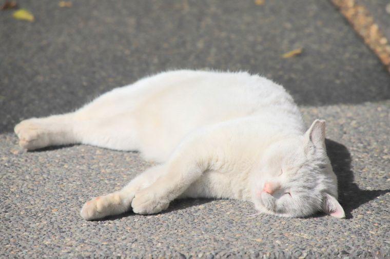 今戸神社 白猫の「ナミちゃん」